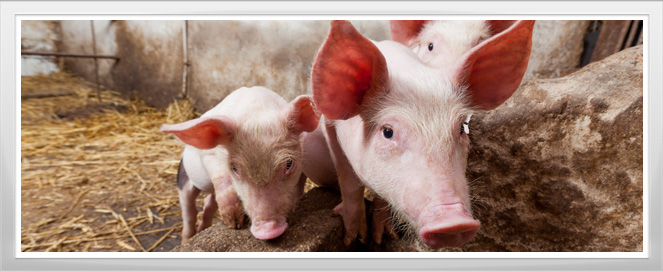 Pig Farm Apprenticeship Program